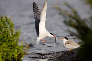 Common Terns by sampok