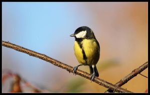 great tit 2 by 21711