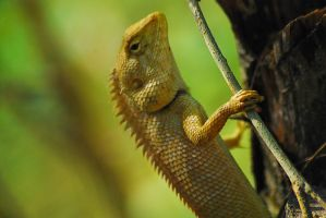 changeable lizard on a tree by SaajidAkram