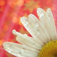 daisy drop and bokeh by kocham-trufle