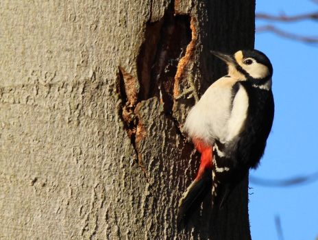 Great Spotted Woodpecker 21-3-17 by pell21