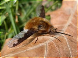 bee-fly Bombylius discolor WP by webcruiser