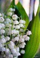 lily of the valley by moreinsane