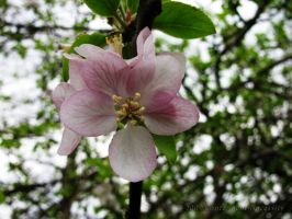 Apple Blossom by Contengent-Necessity