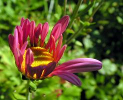 Autumn Aster Blossoming by JocelyneR