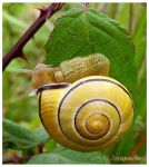 Yellow snail with black stripe by Jorapache