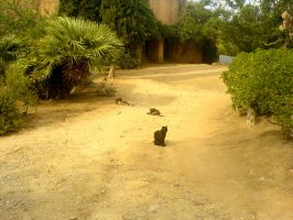 Corsica cats by nyc0