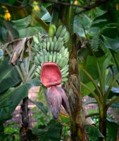 Plantains 1 by jennystokes