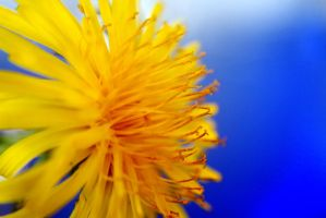 Dandelion by LivingImages