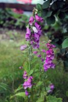 FoxGloves by ZoeCoombesPhoto