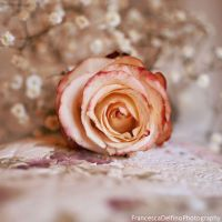 Beautiful rose by FrancescaDelfino