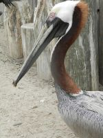 The wonderful bird, the Pelican by romeoandrebecca