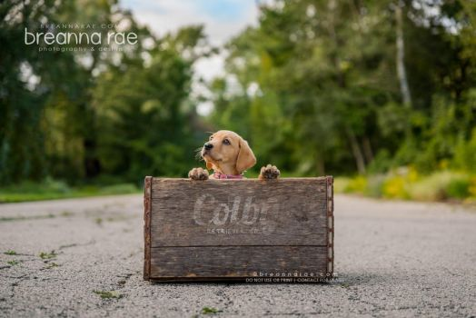 The Colby Retriever Co: A Crate Full of Happiness by breanna-rae