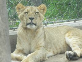 African Lion - Juvenile, Smile For Me by ILoveCP
