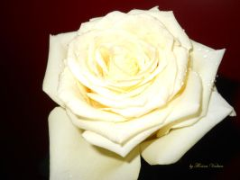 pure rose with drops by florina23