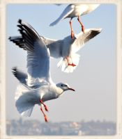 GULLS by cemito