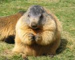 Wild animal stock 106 - sitting marmot by Momotte2stocks