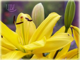 Lily by WalkerGermany