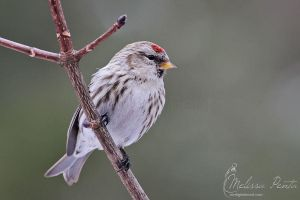 Redpoll by mydigitalmind