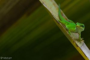 Jaunty green anole by CyclicalCore