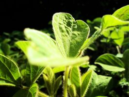 soy leaves by Marcco666
