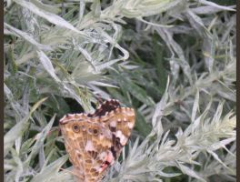 .:Butterfly_1:. by CousCoussina