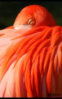 Caribbean Flamingo_2415 by MASOCHO
