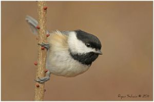 Black-capped Chickadee by Ryser915