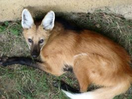 Maned Wolf by TaciturnReserve