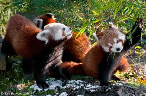 Red Panda Family 157-95 by mym8rick