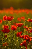 Poppies at sunset by tilk-the-cyborg