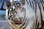 White Tiger III by NawalAckermann