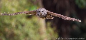 Incoming Barred Owl by FForns