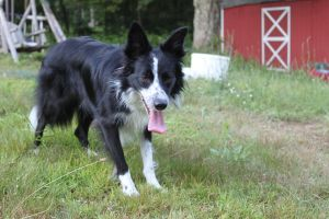 Border Collie STOCK 18 by Miahii