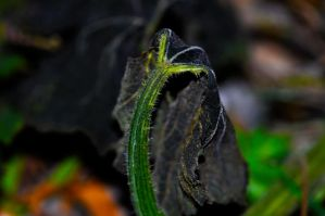 Pumkin leaf by Merlinman50