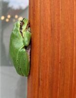 Green frog by IronAries