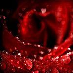 Hearts and Roses II by waiaung