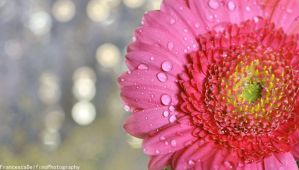 Pink gerbera with bokeh and drops 1 by FrancescaDelfino