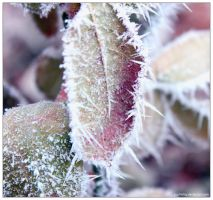 Frozen leaves by Sophie-Y