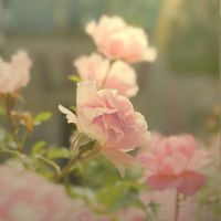 The Rose by hv1234