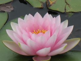 Light Pink Lotus by Jyl22075
