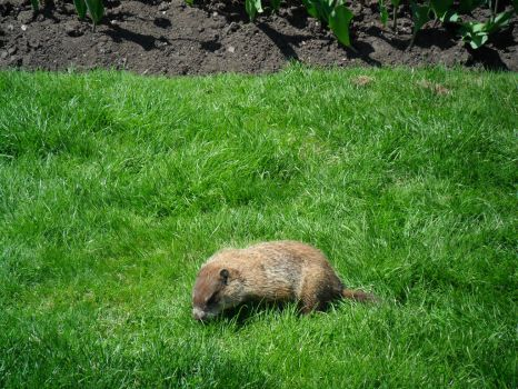 Gopher(pretty sure) at Canadian Parliament Hill by alphaboy202