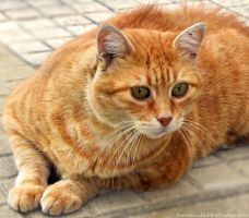 Orange cat 2 by FrancescaDelfino