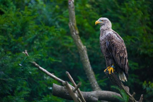 ...eagle... by roblfc1892