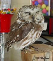 Saw Whet Owl 1 by seto2112