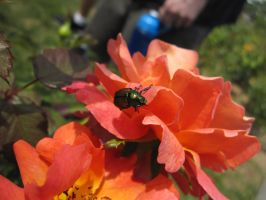 Beetle Covered Roses by Slersk