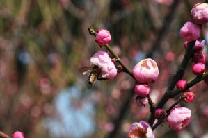 the bee and the plum blossom by iRISSIEL