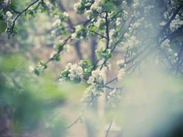 When apple blossom... by AlexGontar