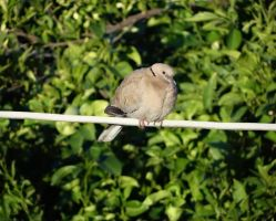 Eurasian Collared Dove by BL00DYSunflowers