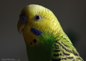Portrait of a Parrot by alahay